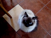 ищу кота  для вязки сиамского окраса .пушистого