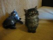 Сибирские котята отдам даром