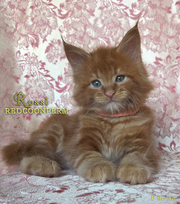 Котёнок мейн кун красный солид Росси