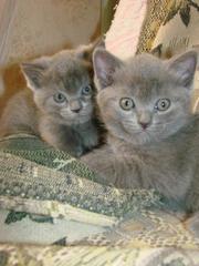 Котята от британского голубого кота и кошки русской голубой продам