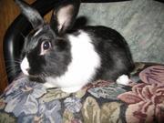 Продаю карликовых кроликов,