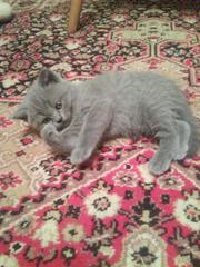 Продаётся британский котенок,  мальчик