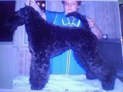 Продаются щенки керри-блю-терьеров